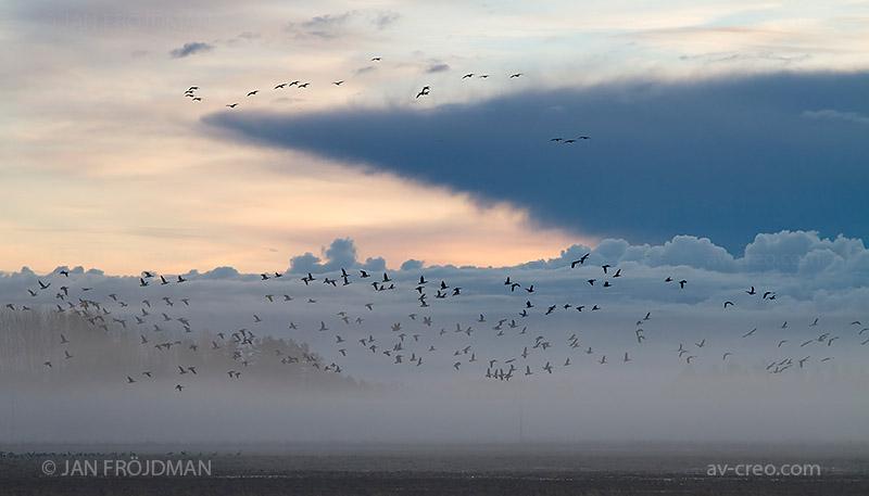 Bird_2059/ Barnacle Goose/ Valkoposkihanhi/ Vitkindad gås
