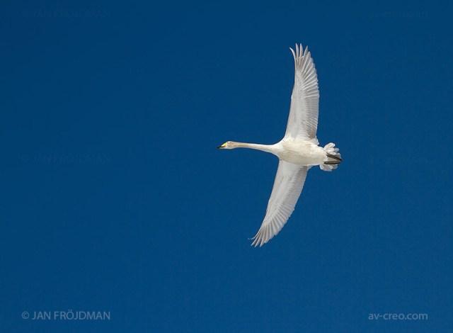 Bird_2284/ Whooper Swan/ Laulujoutsen/ Sångsvan