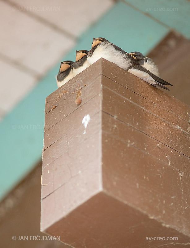 Bird_8033/ Swallow/ Haarapääsky/ Ladusvala