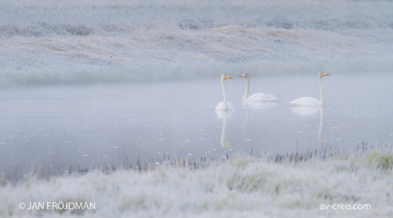 Bird_8720/ Whooper Swan/ Laulujoutsen/ Sångsvan