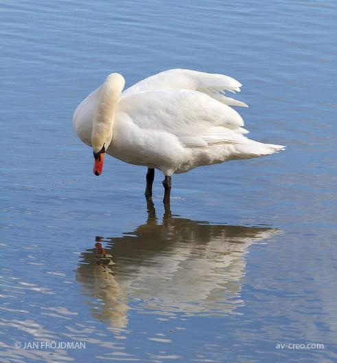Bird_0435/ Mute Swan/ Kyhmyjoutsen/ Knölsvan