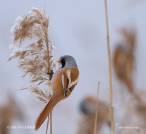 Bird_2010/ Bearded Tit (male)/ Viiksitimali/ Skäggmäs