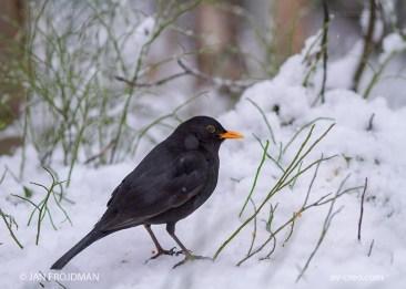 Bird_6659/ Blackbird/ Mustarastas/ Koltrast