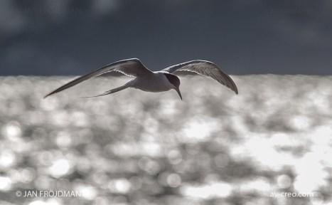 Bird_7977/ Common Tern/ Kalatiira/ Fisktärna
