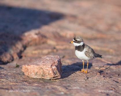 Bird_4006/ Ringed Plover/ Tylli/ Större strandpipare