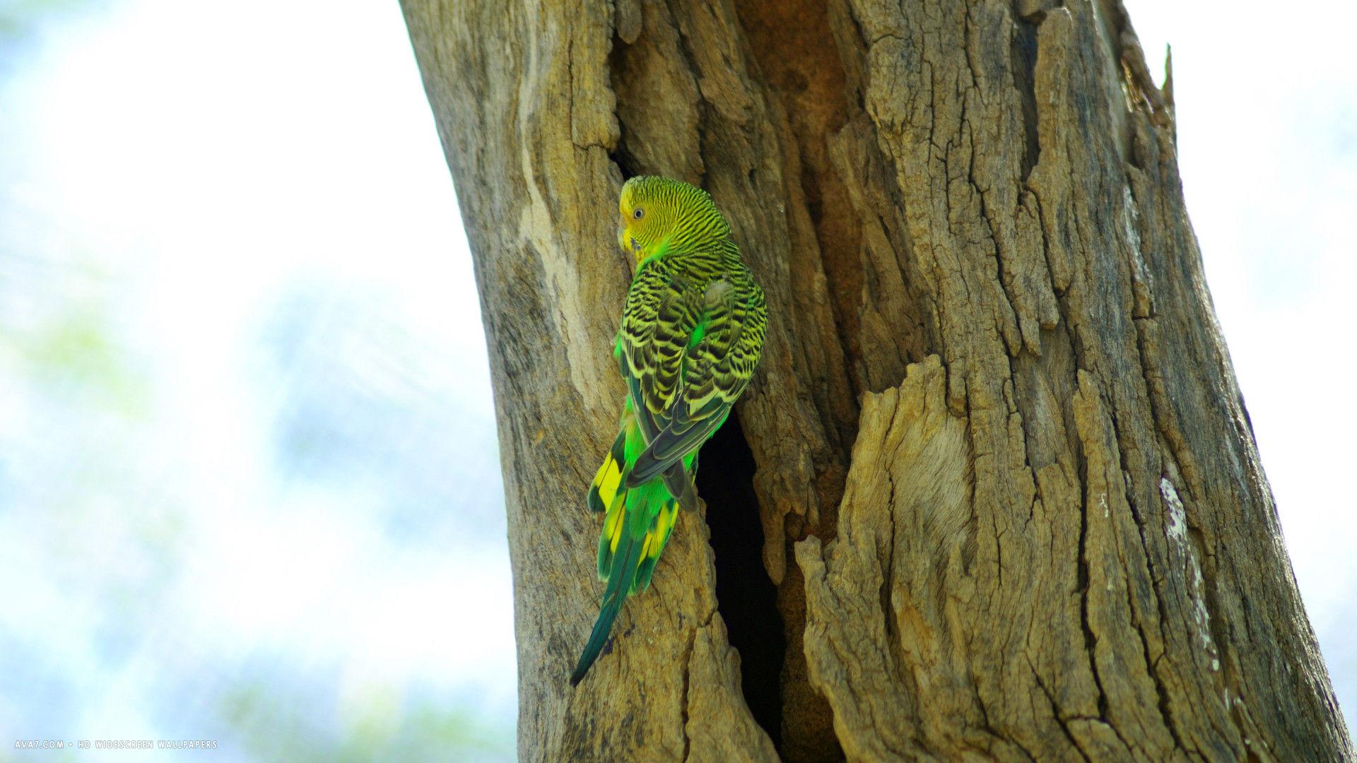 Cute Young Couple Hd Wallpaper Budgie Melopsittacus Undulatus Tree Nest Wild Bird Hd