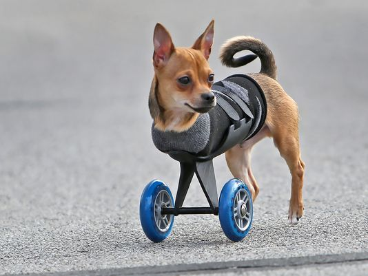 wheelchair dog hanging chair jeddah animal wheelchairs part i avacare medical blog with