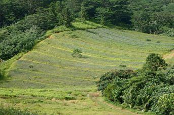 les champs d'ananas