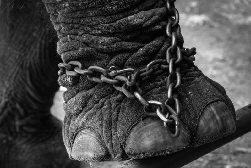 Maltraitance animale : des éléphants de cirque squelettiques forcés de se produire malgré leur état de malnutrition