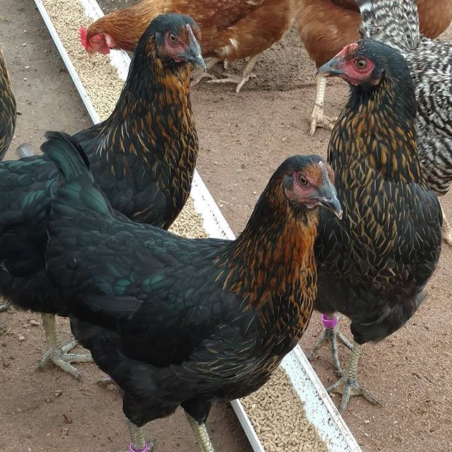 Ten of these beautiful copper and metallic green ladies came to live at today. Looking forward to more tasty #farmfresheggs!