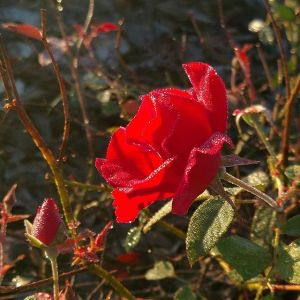 morning-glory-dew-kissed-rose.-has-nothing-to-do-with-farming.-avalon_farms-simplepleasures-creation