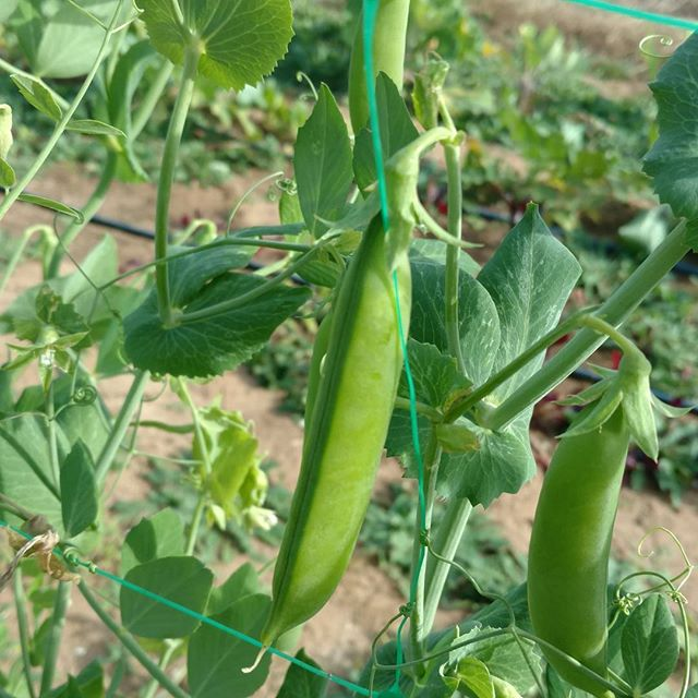 Time for the late fall crop of sugar snap peas here at #avalon_farms. So crisp and sweet! These may be the best we've ever grown. Nothing like grabbing a couple right off the vine for a quick snack on the way by. 😀 As always, available (if you're fast!) at www.marketatdothan.com