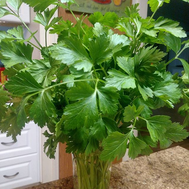 Check out my parsley bouquet!!! Making my kitchen smell wonderfully. Ready for bunching and delivery tomorrow.