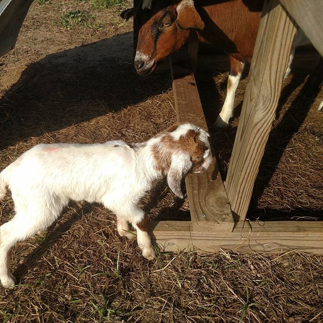 Boy, you can tell spring is coming here at #avalon_farms! Another baby goat, fresh from the bakery, about an hour old. 😀