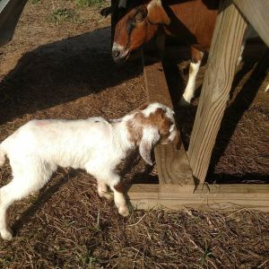 boy-you-can-tell-spring-is-coming-here-at-avalon_farms-another-baby-goat-fresh-from-the-bakery-about