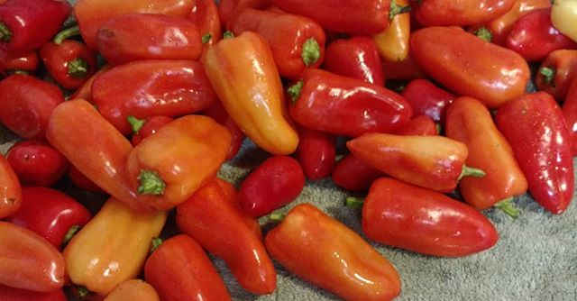 Mariachi peppers, anyone? Sweet and crunchy goodness. Come get some tomorrow at the in downtown Dothan! All naturally grown with no synthetic pesticides or fertilizers. Yum!
