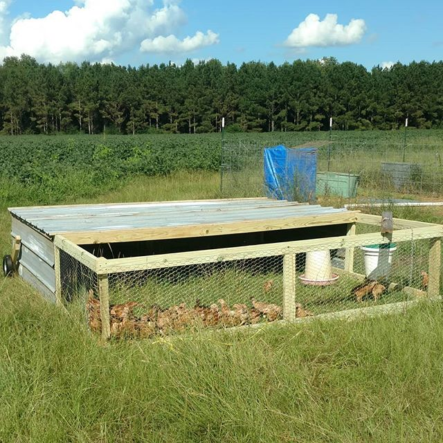 The first chicken tractor for our pastured meat birds has rolled off the assembly line.  Still need a little work on the front roof screen, but it's good enough to hold the current crop of 50 freedom rangers at their current size.  This was the prototype - let's see if we can make the next one faster.  This crop will be ready around the first week on November. If you're interested in tasty pasture raised chicken, contact us or visit our website at www.avalonfarms.us for more info on how to purchase.