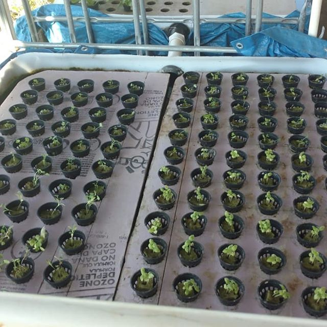 Loading up one of the aquaponics beds with basil, cilantro and celery.  What's aquaponics? It's hydroponics (growing plants in water), but instead of adding liquid plant nutrients, the water runs through another tank that contains fish. It's a symbiotic sustainable relationship. The fish output provides the nutrients the plants need, and the plants clean the water for the fish. Works great!