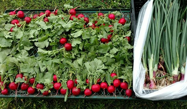 Just harvested some beautiful radishes and spring onions for the farmers market at Dothan Nurseries tomorrow. (and no, no photo filters were used, they really are that red ) . We'll harvest tatsoi and senposai (Asian greens - delicious!) and some green garlic just before we leave in the morning. The spinich is already in the cooler, and some of our pastured poultry and eggs will be making an appearance also, along with other goodies .  Come see us tomorrow and let's talk about the freshest naturally grown produce in the Wiregrass, available all year round. .