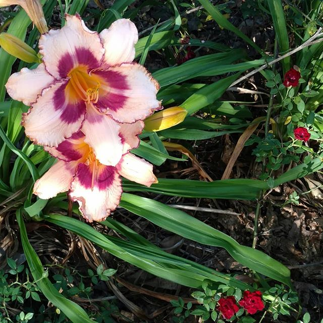 Not everything growing at is eaten.  (Although there is one variety of day lily that is edible - we'll pass.)