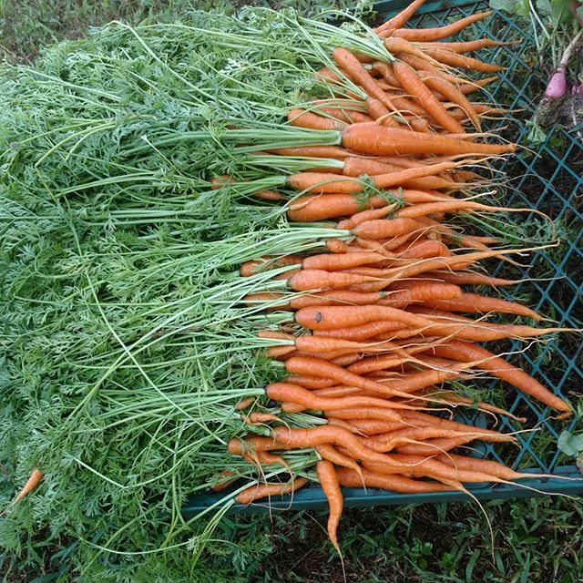 Yay! The carrots managed to survive the heatwave – here's the first pickover from the raised beds we made this spring.