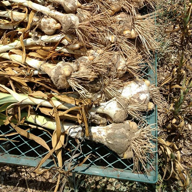 Phew! Digging elephant garlic out of rock hard dry dirt when it's 93 degrees is.... rough!