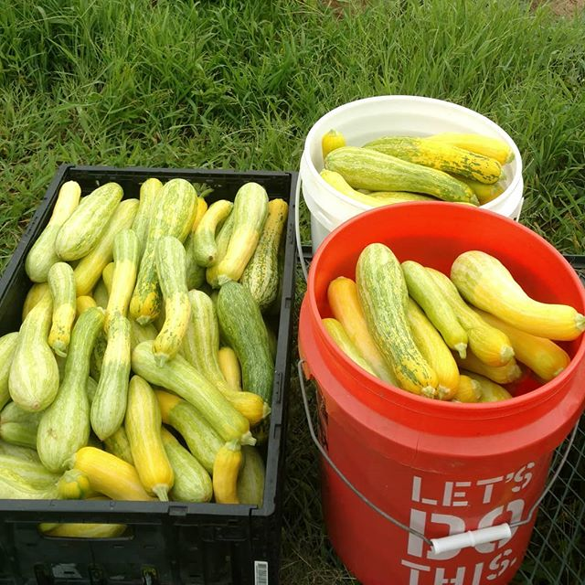 For those of you that missed out of the yummy zephyr squash last week at Poplar Head farmers market, we gotcha covered this week.  We also have lots of beautiful yellow crookneck squash and zucchini this week.  Don't forget, this is the next to last week for Poplar Head market.  You'll still be able to get our naturally grown produce, jams, pasture raised chicken and eggs all year round at www.marketatdothan.com.  Checkout our website at www.avalonfarms.us for more info.