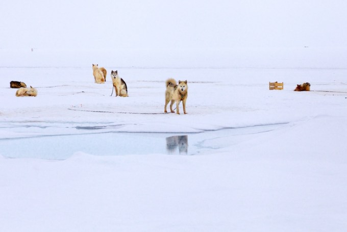Sled dogs on melting sea ice. Qaarsut, Northern Greenland. Photo © Galya Morrell