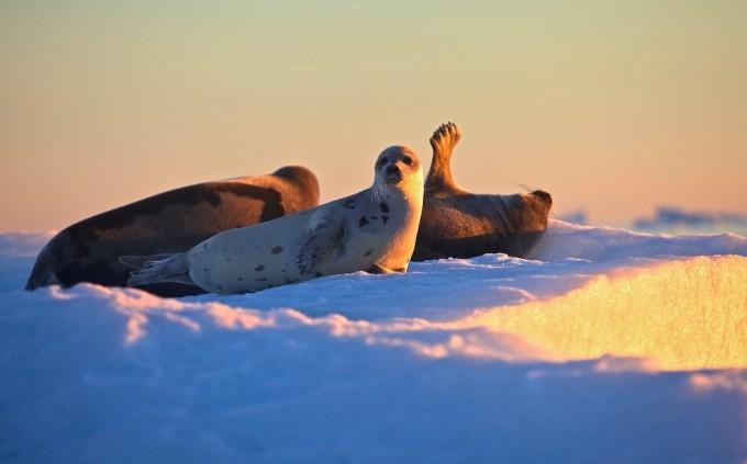 Sunbathing seals in Melville Bay. Photo @ Galya Morrell