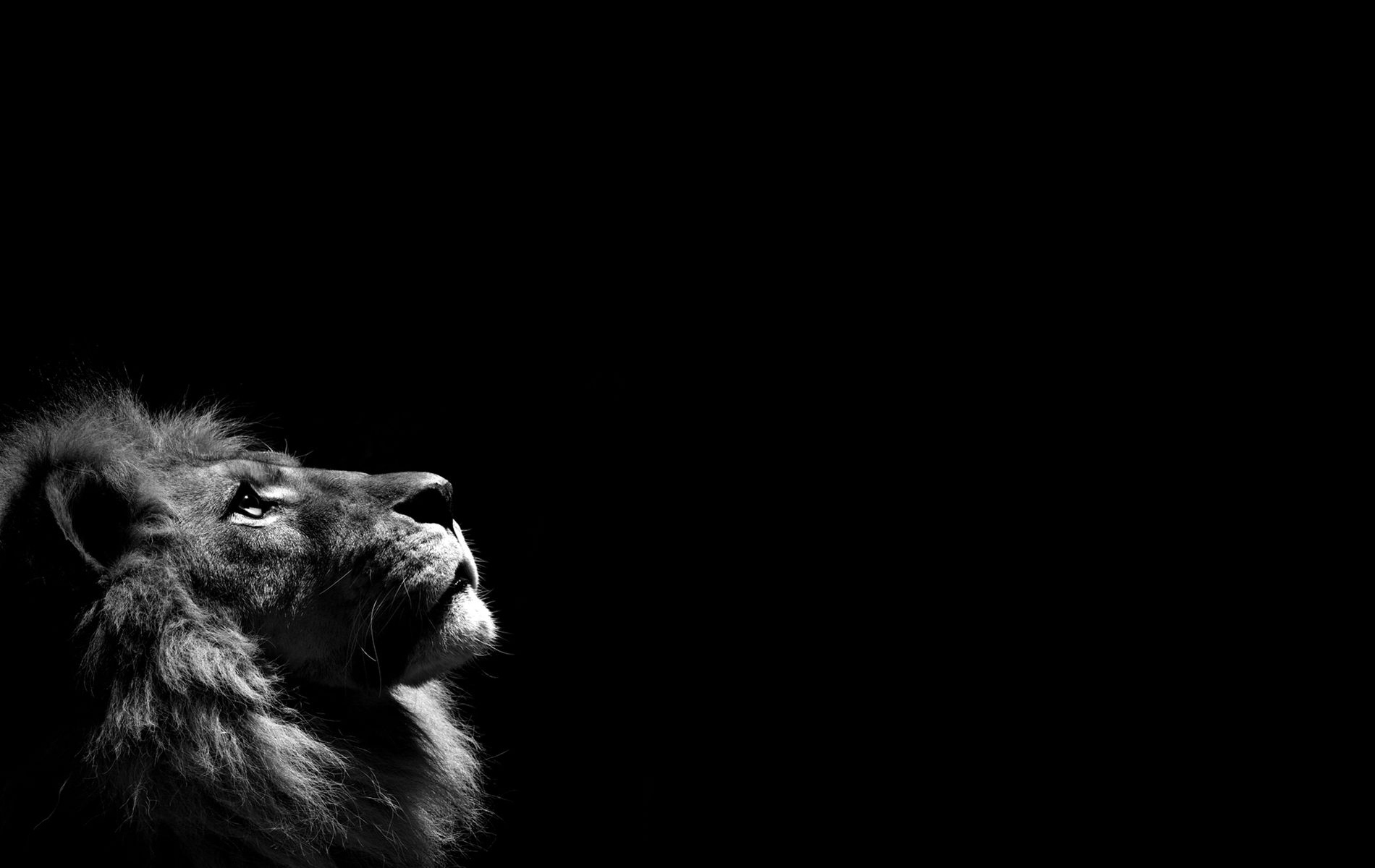 lion hd wallpapers lion