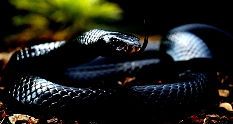 Collection Of Black Mamba Snake Wallpapers On Hdwallpapers 1824x972