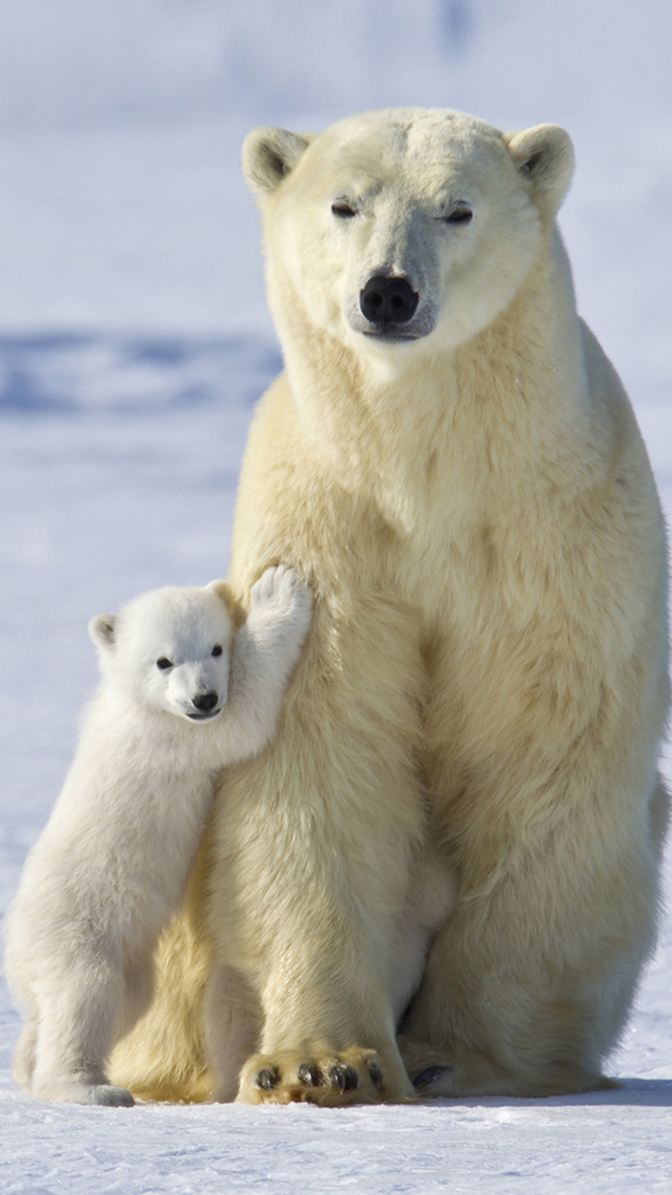 Cute Baby Polar Bear Wallpaper Polar Bear Pictures Wallpapers 42 Wallpapers Adorable