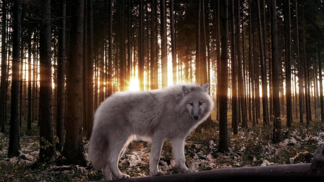 White Wolf Wallpaper Hd Desktop Widescreen