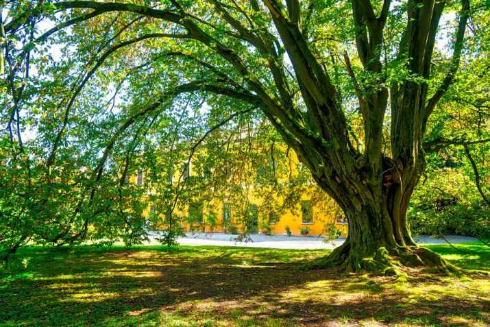 The American Hornbeam Tree