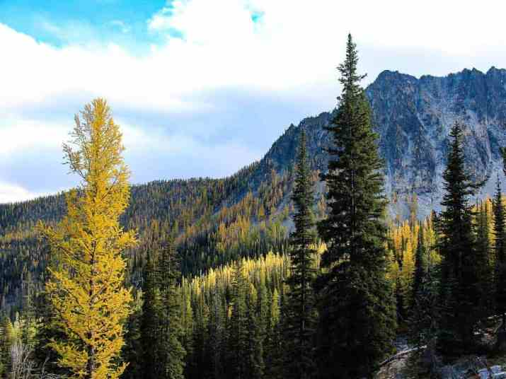 The American Larch Tree