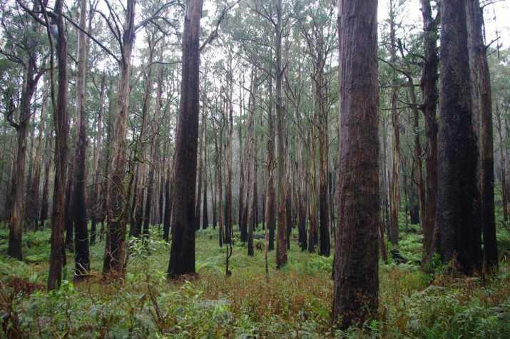The Australian Mountain Ash Tree