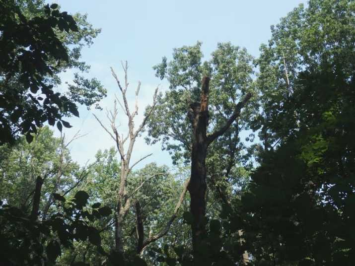 The Black Birch Tree