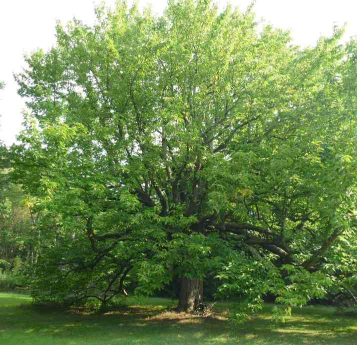 The Cucumber Tree