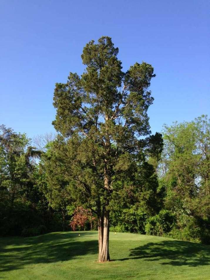 The Eastern Red Cedar Tree