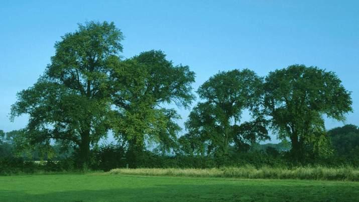 The English Elm Tree