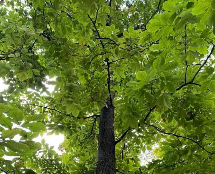 The Pignut Hickory Tree