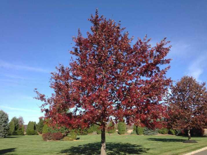 The Scarlet Oak Tree