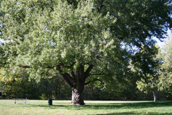 The Silver Maple Tree
