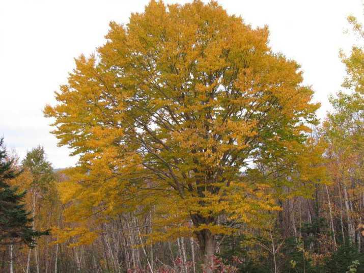 The Yellow Birch Tree