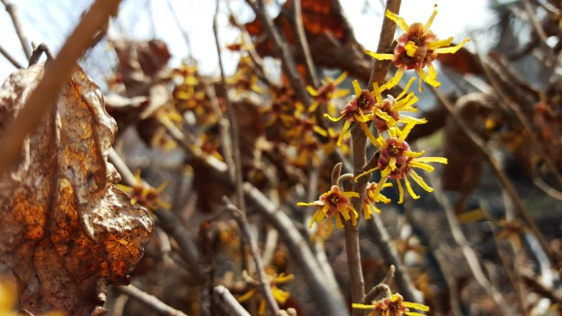 vernal witch hazel, hamamelis vernalis, wisconsin landscape plants