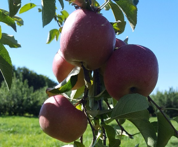Hand-Picked Locally Grown Apples