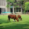 cattles in IIT, main building