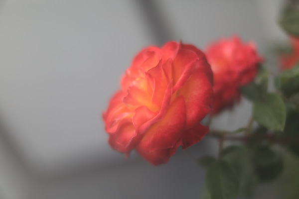close up of a romantic soft red rose with negative space