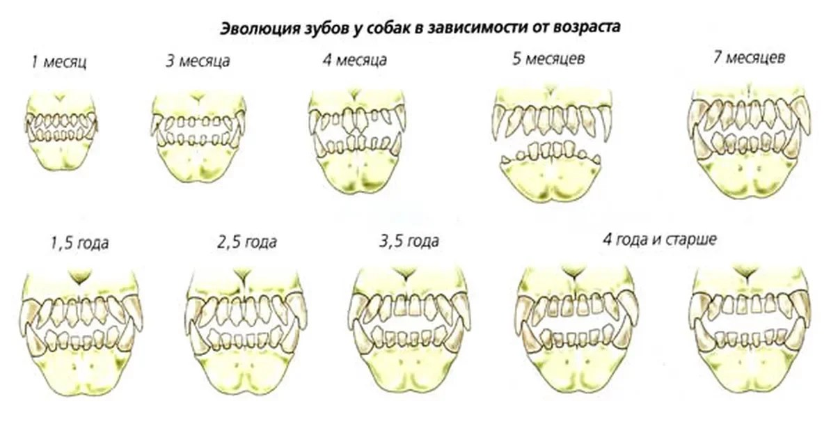 Easy way to find out the age of a puppy or an adult teeth dog