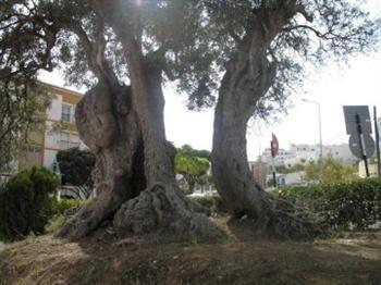 árvore mais antiga de Portugal